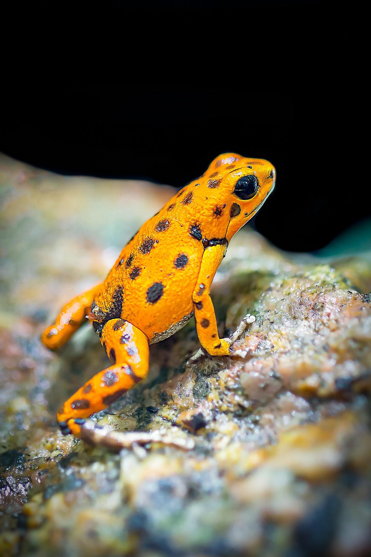 pet amphibian