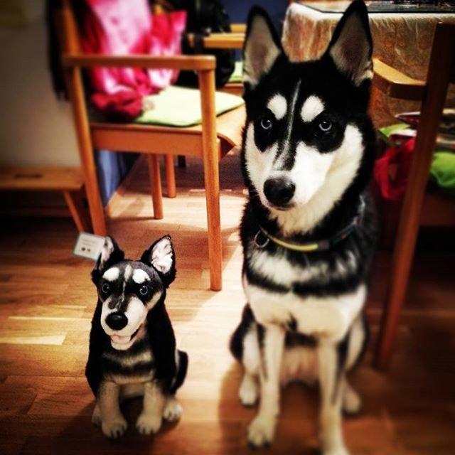 Personalized Lifelike Husky Stuffed Animals Turn Your Pup Into Plush