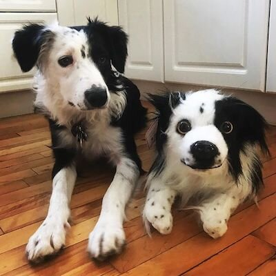 border-collie-stuffed-animal-plush