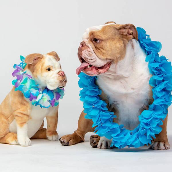 bulldog-stuffed-animal-plush