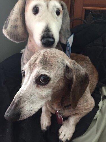 forevers dachshund plush lookalike realistic