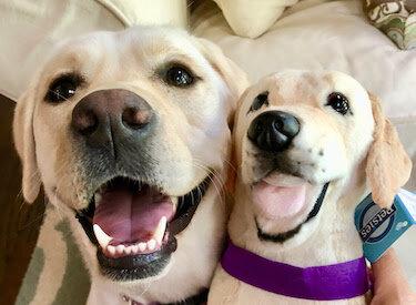 Personalized Labrador Stuffed Animal Plush Lookalike 9