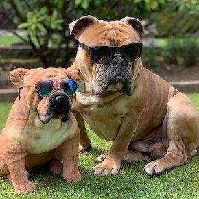Personalized Bulldog Stuffed Animal Plush Lookalike