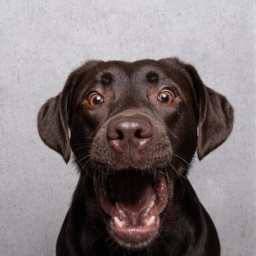 Personalized Labrador Stuffed Animal Plush Lookalike