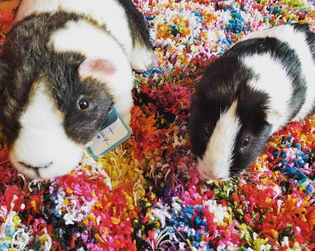 Stuffed animals guinea pigs hamsters rats petsies celebrate the love you have for your pet guinea pig hamster or rat with a stuffed animal replica that looks just like them we can take any picture of jeuxipadfo Gallery