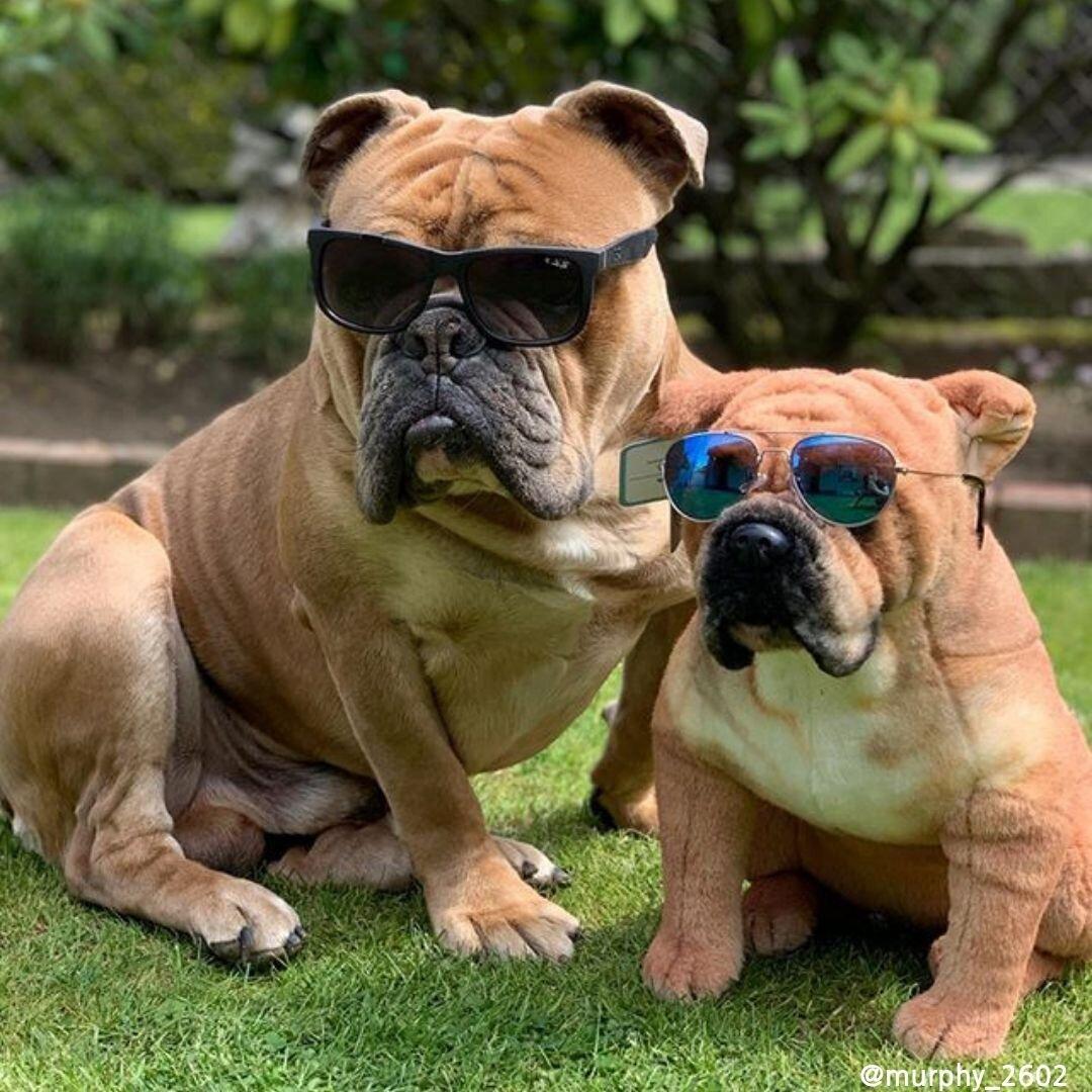 stuffed animal of a bulldog