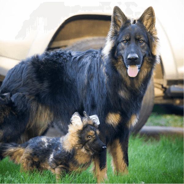 german shepherd stuffed animal 1
