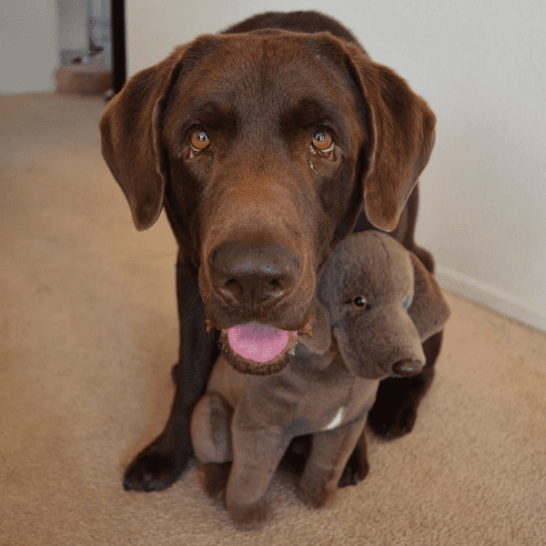 labrador retriever stuffed animals 1