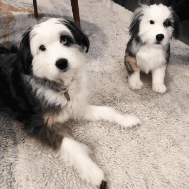 Australian shepherd realistic lookalike dog stuffed animals