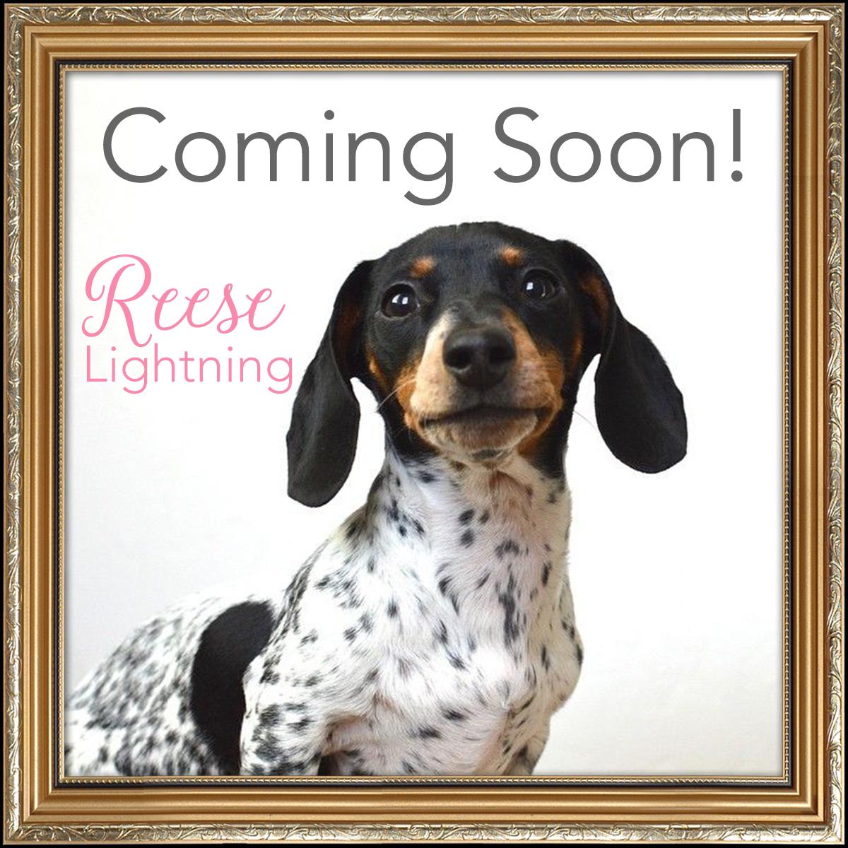 Reese the dachshund